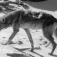Coyotes of South Padre Island By Kay Lay A few weeks ago, I saw a lone coyote sniffing around in a wide-open area about 8 miles north of Beach Access...