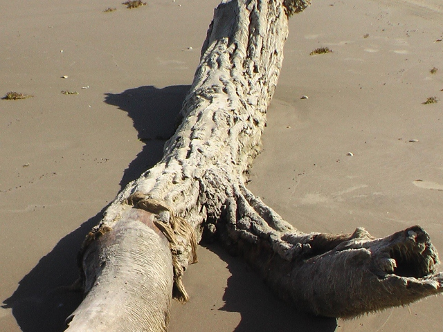 Giant Log Found on Padre Island